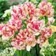 Тюльпан Belicia махровий+багатоквітковий, фото 2