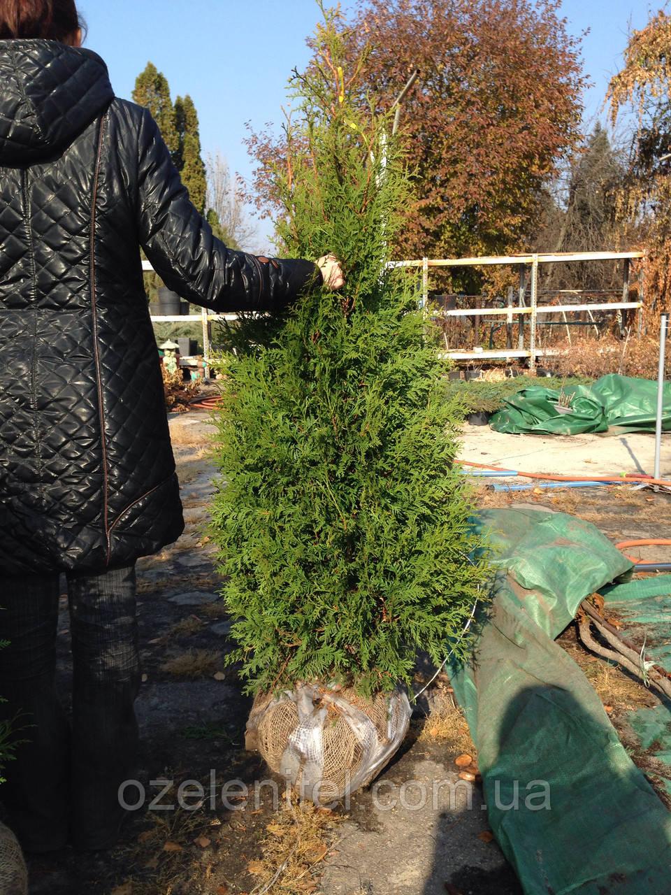Туя Брабант 1,5 -1,7м - Древесный питомник «Озеленитель» в Днепре