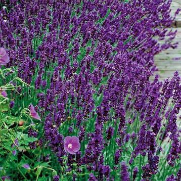 Лаванда вузьколиста Dark Hidcote Blue 2 річна, Лаванда узколистная Дарк Хидкот Блу, Lavandula angustifolia, фото 2