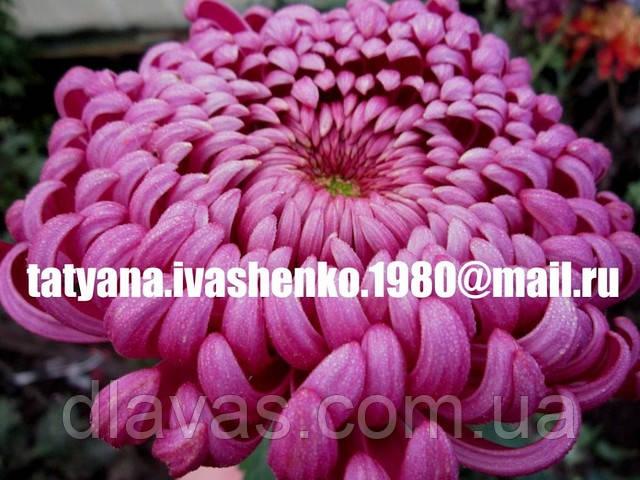 Хризантема крупноквіткова срезочная Дон-Дієго (бордово-сереневая)