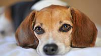 Чем кормить собаку после рвоты?