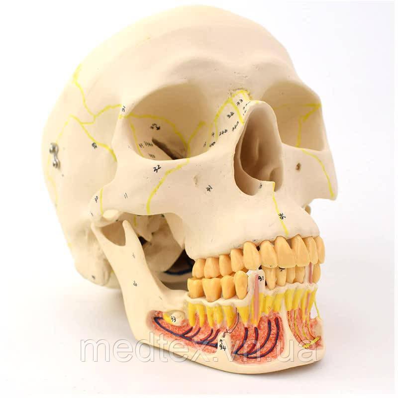 Модель черепа для врачей стоматологов