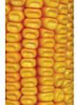 Семена кукурузу Окститан
