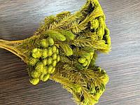 Стабилизированная желто-зеленая Бруния MossNature (стабилизированные растения)