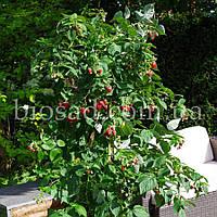 Малинове дерево Крєпиш