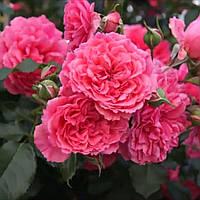 Саджанці Троянд 'Розаріум Ютерзен' (3л)
