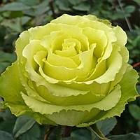 Саджанці Троянд 'Зелена Планета' (3л)
