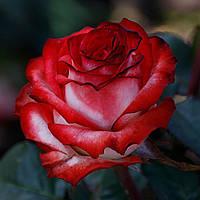 "Саджанці Троянд ""Блаш""(3л)"
