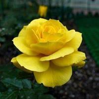 Саджанці Троянд 'Фрезія' (3л)
