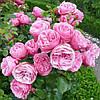 Саджанці троянд 'Леонардо да Вінчі' (3л)
