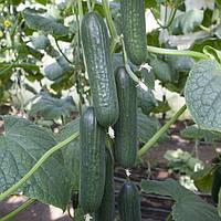 Семена огурца КС 930 F1, 1000 семян, Kitano