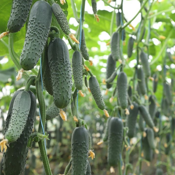 Семена огурца КС 80 F1, 500 семян, Kitano