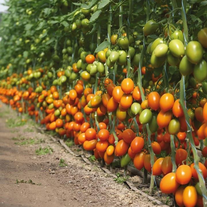 Семена томата КС 1430 F1, 1000 семян, Kitano