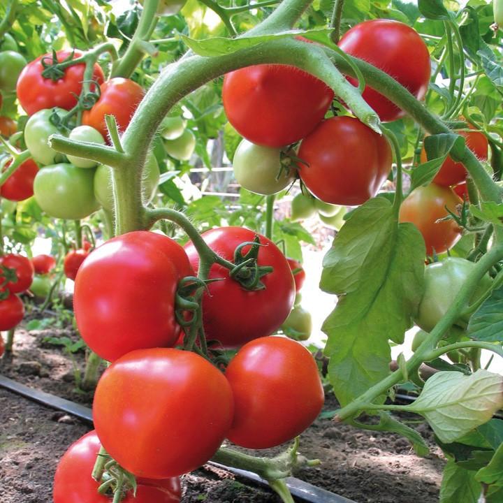 Семена томата Ядвига F1, 500 семян, Kitano