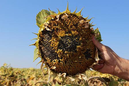 Семена Подсолнечника Равелин (Гранстар 30г) От Производителя, фото 2