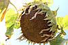 Семена Подсолнечника Равелин (Гранстар 30г) От Производителя, фото 6