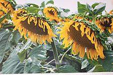 Насіння Соняшнику Равелін (Гранстар 50г) Від Виробника, фото 2