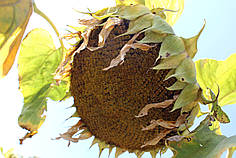 Насіння Соняшнику Равелін (Гранстар 50г) Від Виробника