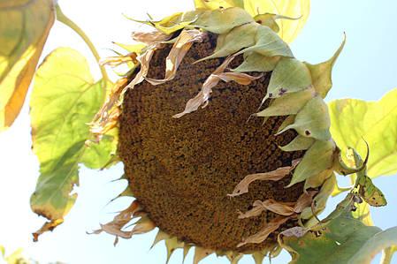 Семена Подсолнечника Равелин (Гранстар 50г) От Производителя, фото 2
