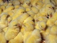Томашпольская Инкубаторная продает Бройлері,утята,гусята,цыплята.