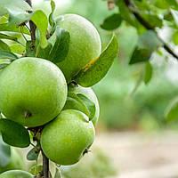 Саджанці яблунь Ренет Кубанський (покращений клон яблуні Симеренко)