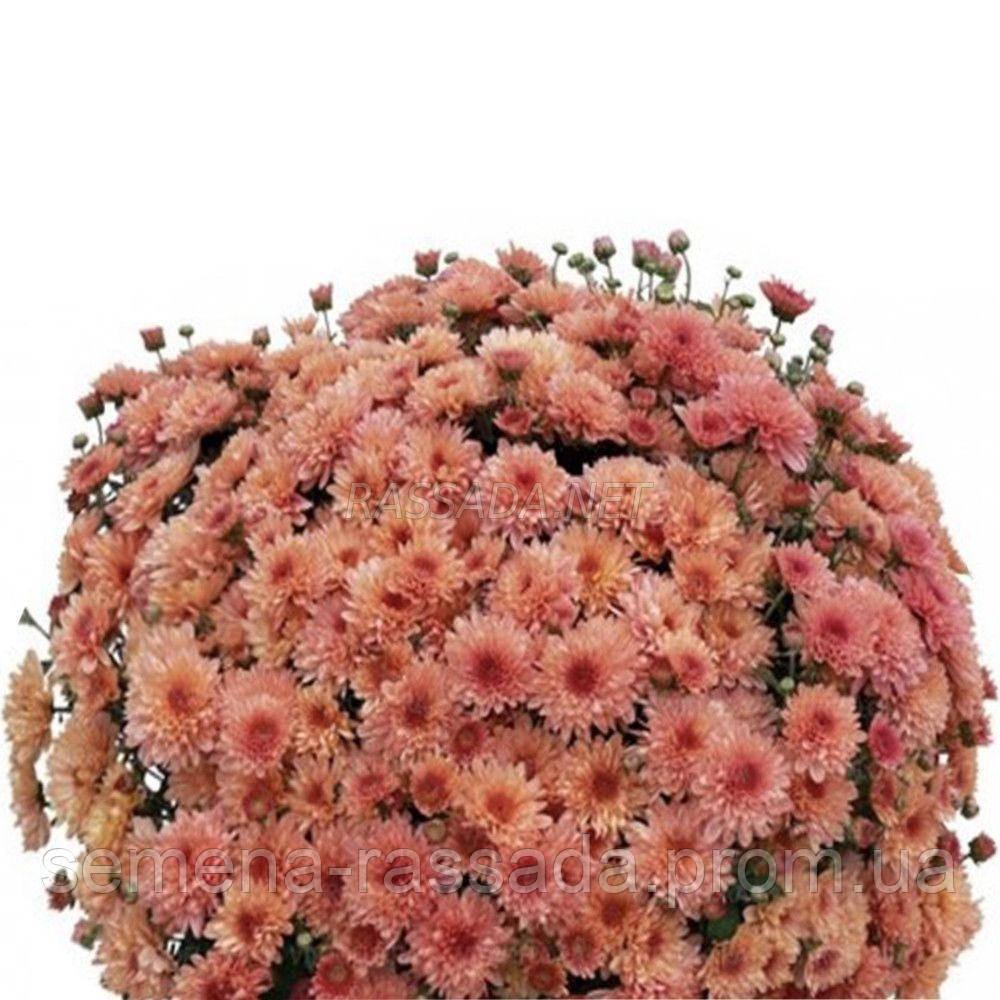 Хризантема Карна персиковая.