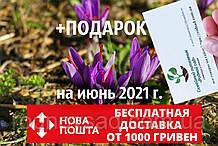 Шафран посевной луковицы 20 штук (шафрановый крокус семена) Crocus sativus + инструкция + подарок