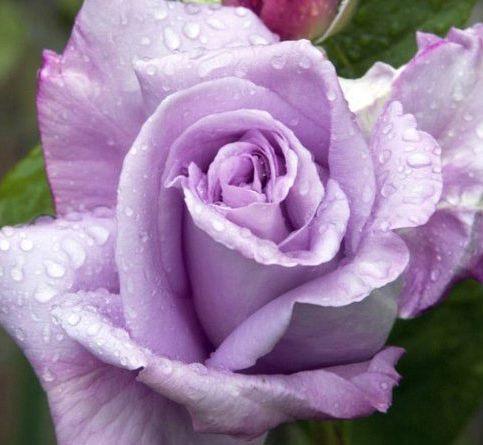 Роза чайно-гибридная Сиреневый туман