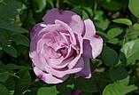 Роза чайно-гибридная Сиреневый туман, фото 2