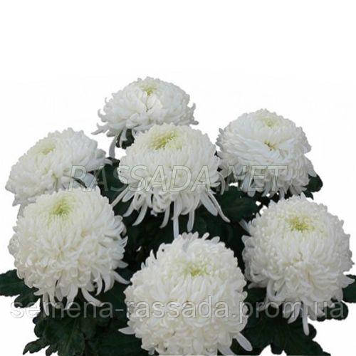 Хризантема Омблайн белая
