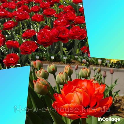 Тюльпан Махровый Miranda, фото 2