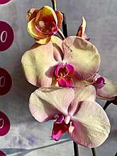 Орхидея Голден, Громадные цветы