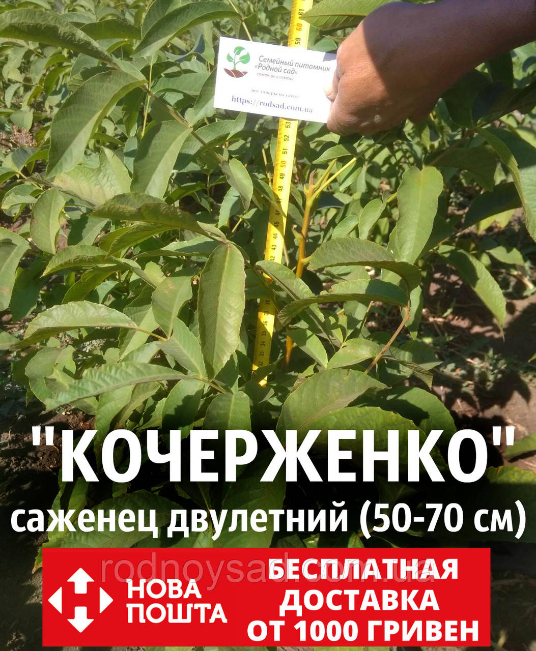 Саженцы грецкий орех сорт «Кочерженко» (двулетний)