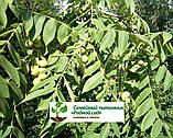 Саженцы грецкий орех сорт «Кочерженко» (двулетний), фото 2