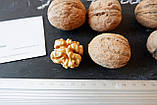 Саженцы грецкий орех сорт «Кочерженко» (двулетний), фото 3