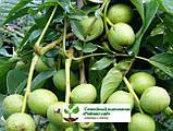 Саженцы грецкий орех сорт «Кочерженко» (двулетний), фото 6