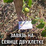 Саженцы грецкий орех сорт «Кочерженко» (двулетний), фото 4