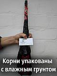 """Саженцы грецкий орех сорт """"Песчанский"""" сеянцы, фото 5"""