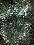 Сосна зеленая с белыми кончиками 2м, фото 3