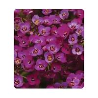 Семена цветов Аллисума Ангора Purple 100 драже