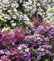 Семена цветов аллисума Персона Bright Mix 1 гр
