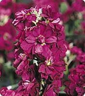 Семена цветов Матиолы Burgundy 250 семян