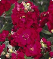 Семена цветов Матиолы Red 250 семян