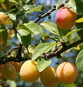 """Слива """"Мірабелла"""" колоновидна(осінній сорт урожайний,солодкий)"""