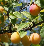 """Слива """"Мірабелла"""" колоновидна(осінній сорт урожайний,солодкий)2 льотка"""