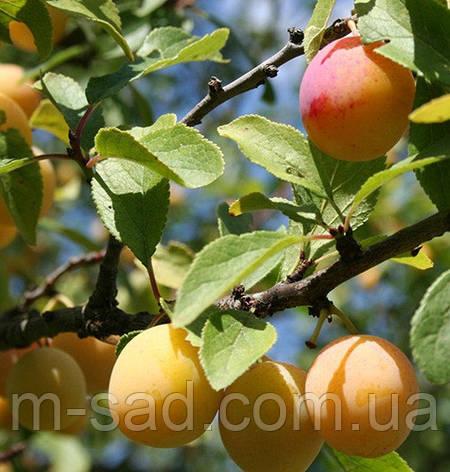 """Слива """"Мірабелла"""" колоновидна(осінній сорт урожайний,солодкий)2 льотка, фото 2"""