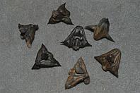 черноморские  одеревенелые   колючки