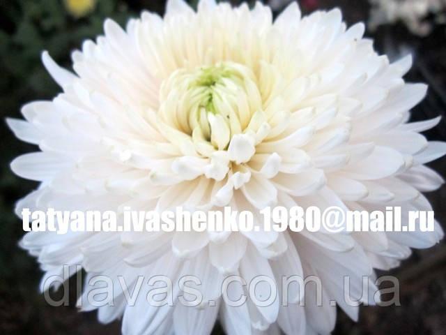 Хризантема крупноцветковая срезочная белая Лавендер Куин