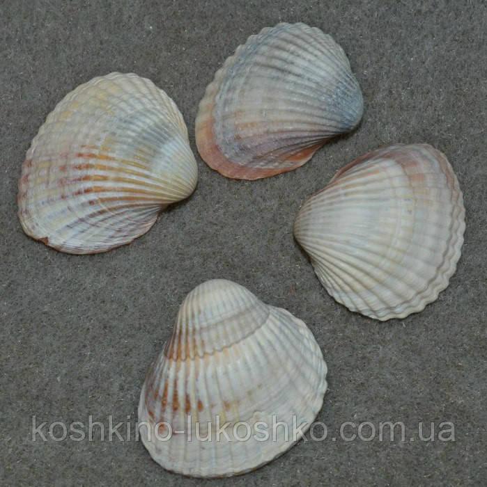 ракушки скафарки белой  и сердцевидки от 4,5 до 4 см