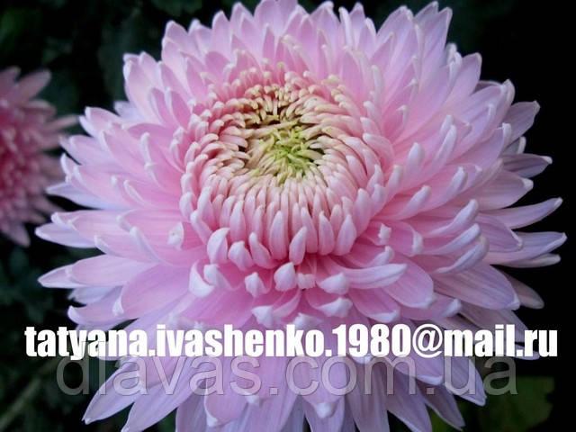 Хризантема крупноцветковая срезочная розовая Мила
